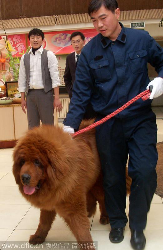 tibetan mastiff pictures