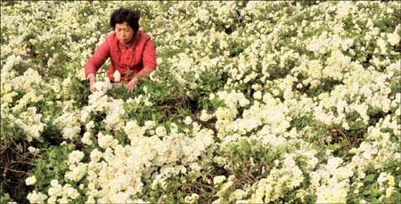 Trà hoa cúc thứ uống chữa bệnh tuyệt vời