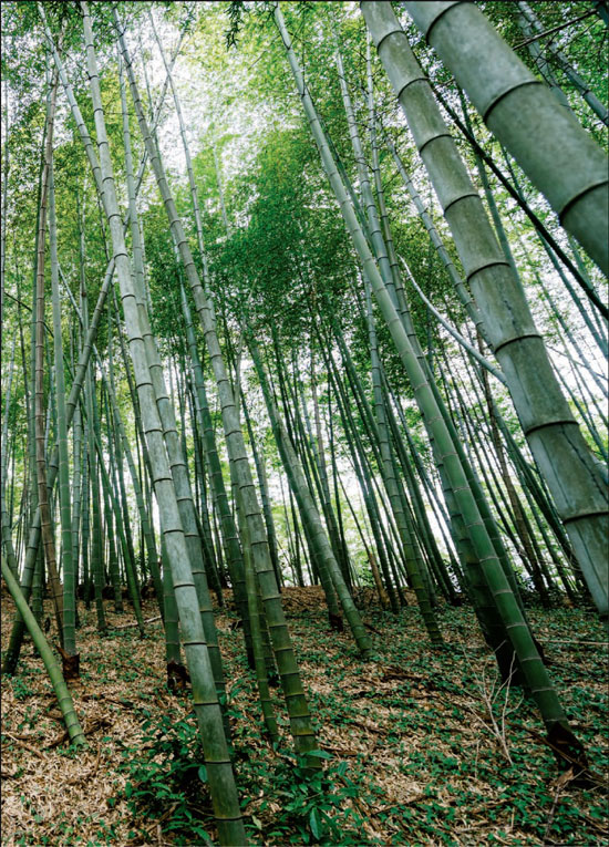 Bamboo Forest In Eastern Zhejiang Province Photos By Zhang